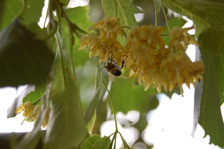 fiori di tilia