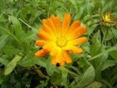 fiore calendula