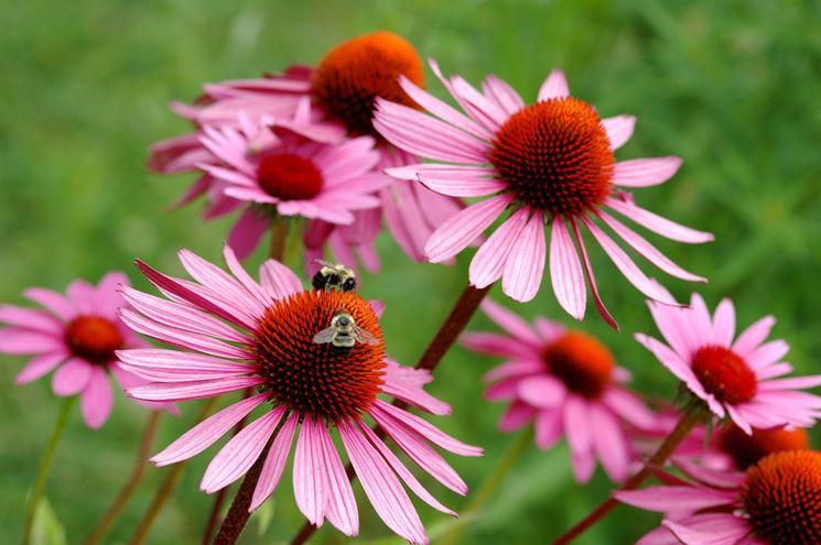 fiore echinacea
