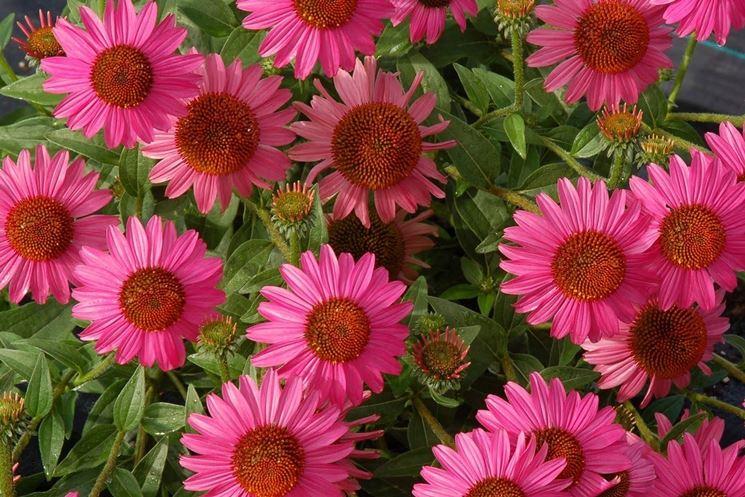 fiori echinacea