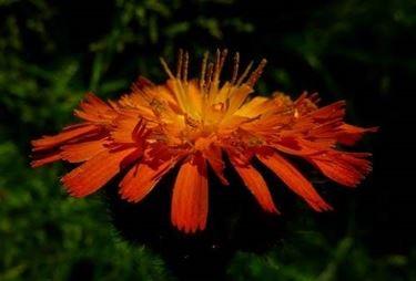 pilosella fiore