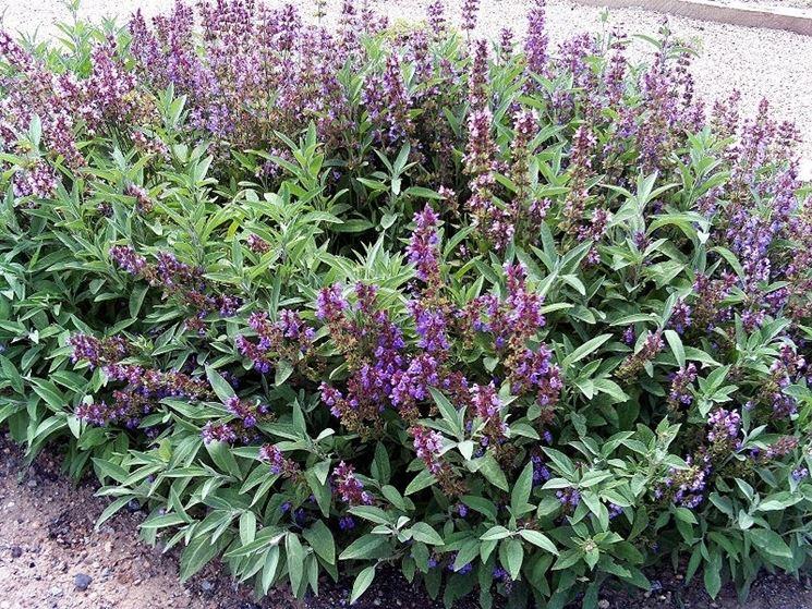 La pianta della salvia, riconoscibile per i suoi fiori viola raccolti in grappoli