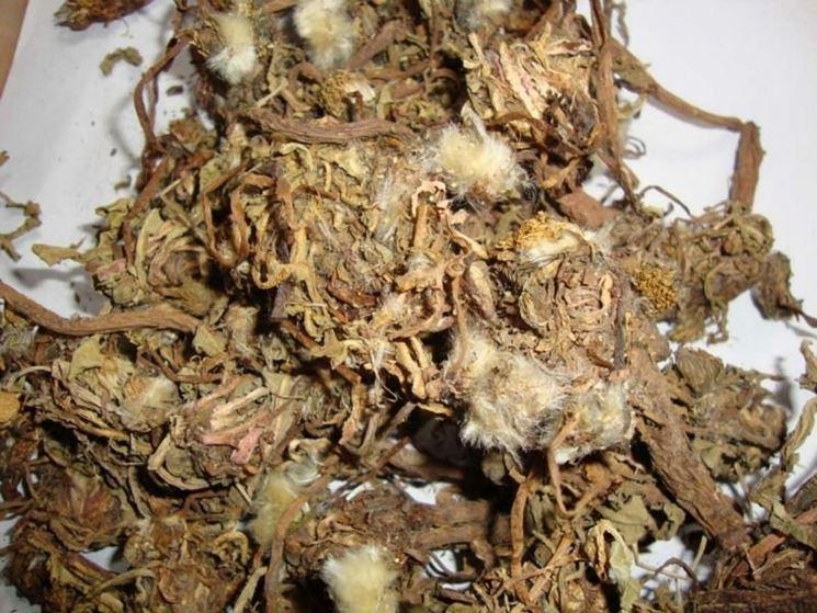 radice di tarassaco