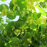 fiori di tiglio