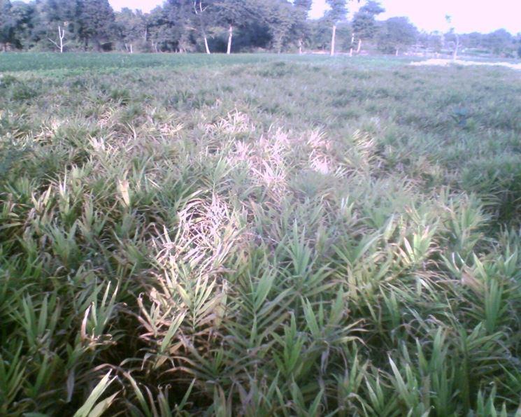 Campo coltivato a zenzero