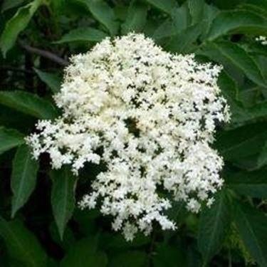 Sambuco in fiore