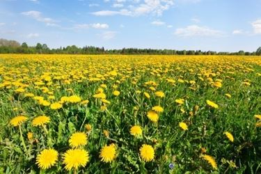 Il tarassaco è una delle piante più usate nelle tisane sgonfianti
