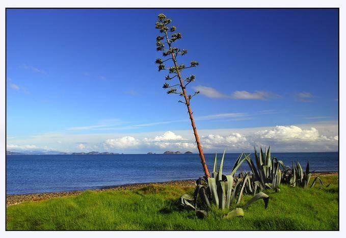 agave fiore