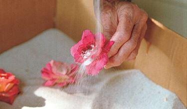 essicare i fiori