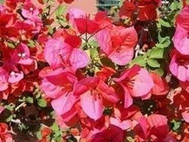Bouganville domande e risposte fiori for Bouganville in vaso
