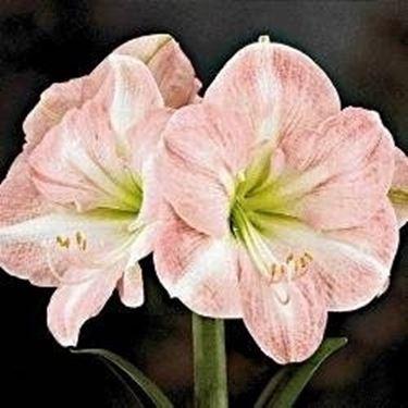Bulbi come bomboniere domande e risposte fiori for Fiori bulbi