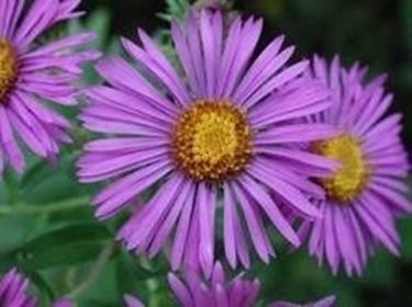 Fiori lilla domande e risposte fiori - Settembrini fiori ...