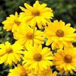Margherite non fioriscono domande e risposte fiori for Fiori acquatici