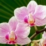orchidea perde fiori