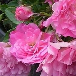 Potatura rosai domande e risposte fiori for Giardinaggio e fiori