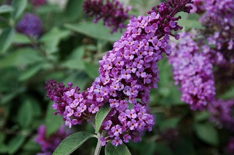 Infiorescenze buddleja davidii