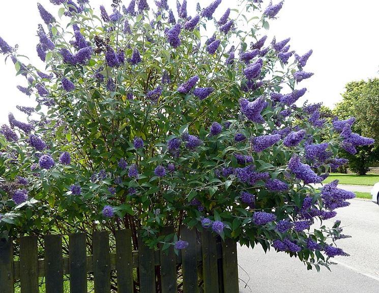 Cespuglio pianta farfalle