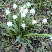 Una pianta di campanelle nata spontaneamente in un bosco