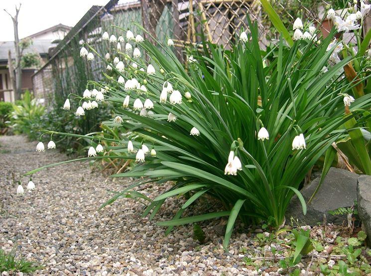 Una pianta di campanelle della varietà aestivum