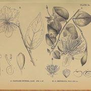 capperi pianta