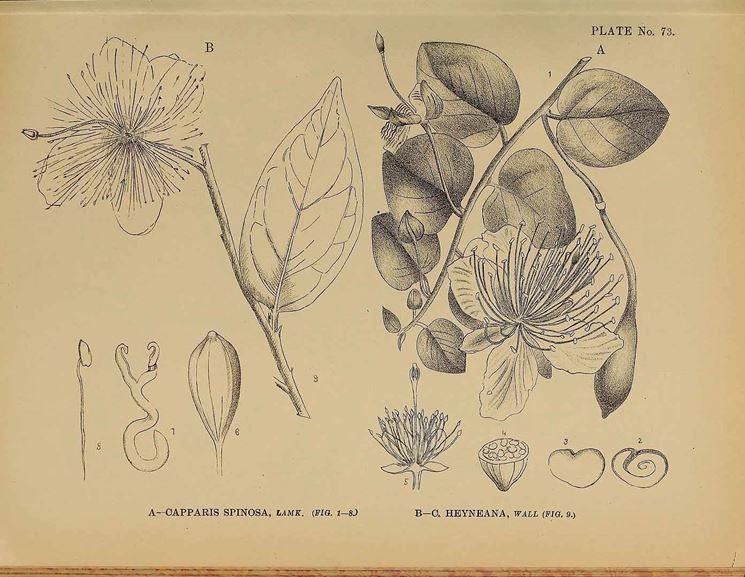 Illustrazione botanica di capparis spinosa