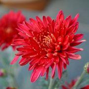 Pianta crisantemo rosso