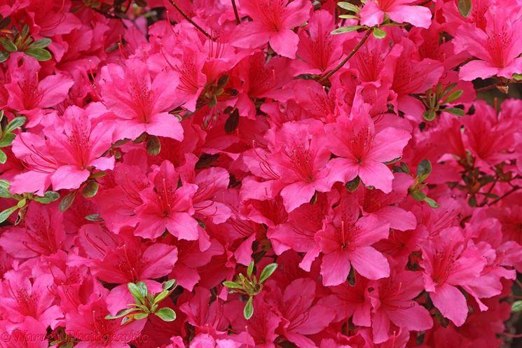 Fiore azalea