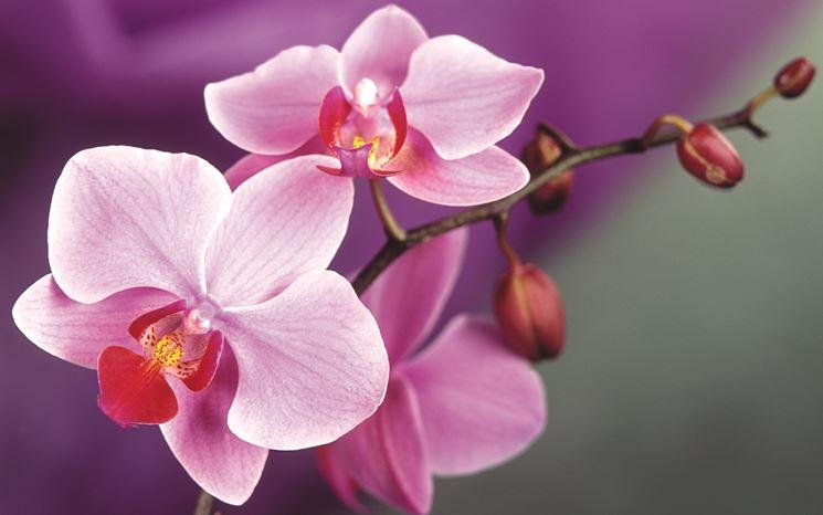 Pianta orchidea fiore