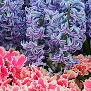 dalie fiori
