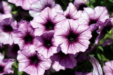 fiori petunia