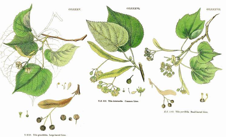 Disegno botanico dei fiori di tiglio