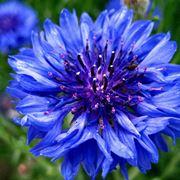 fiore fiordaliso