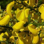 fiori ginestra