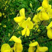 fiori di ginestra