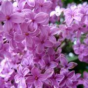 fiori di lillà