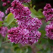 fiore di lillà