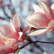 albero fiori rosa