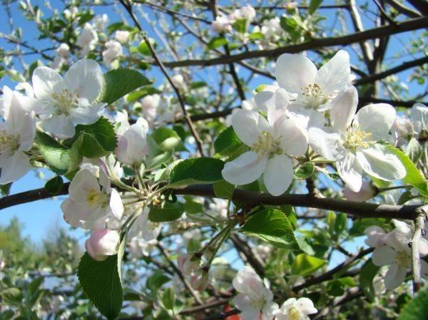 Piante Di Melo : Fiori melo delle piante