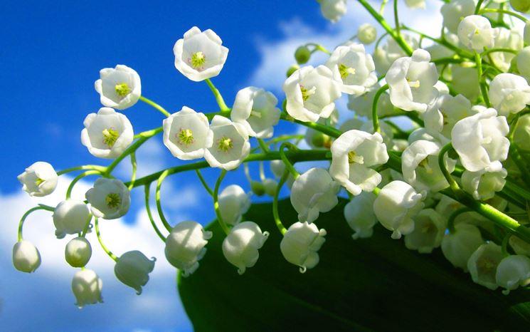 fiori mughetto