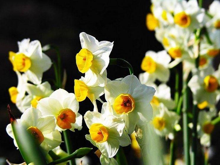 fiori narciso