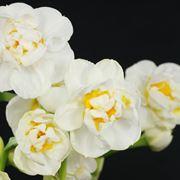 fiore narciso