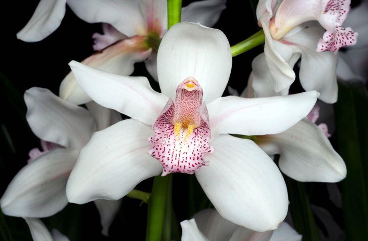 Fiori orchidea fiori delle piante - Orchidee da appartamento ...