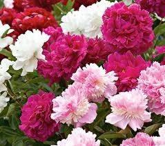 Fiori peonia fiori delle piante for Peonie periodo
