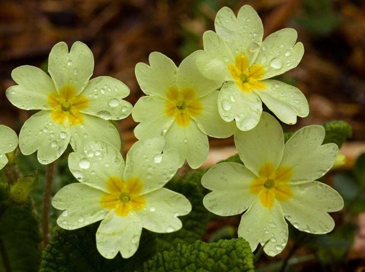 Fiori primaverili fiori delle piante variet fiori for Tipi di fiori