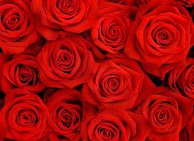 fiori rosa rossa