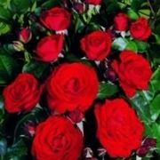 quanto costa una rosa