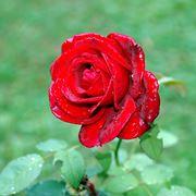 rosa rossa fiore