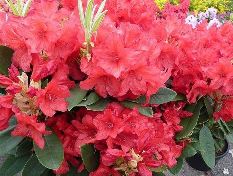 Fiori rosa fiori delle piante for Rododendro pianta