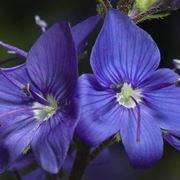 fiori veronica