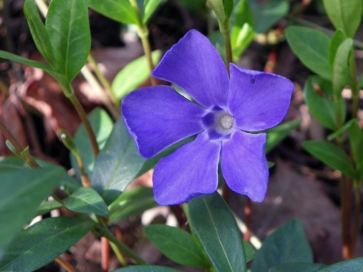 Coltivazione pervinca fiore